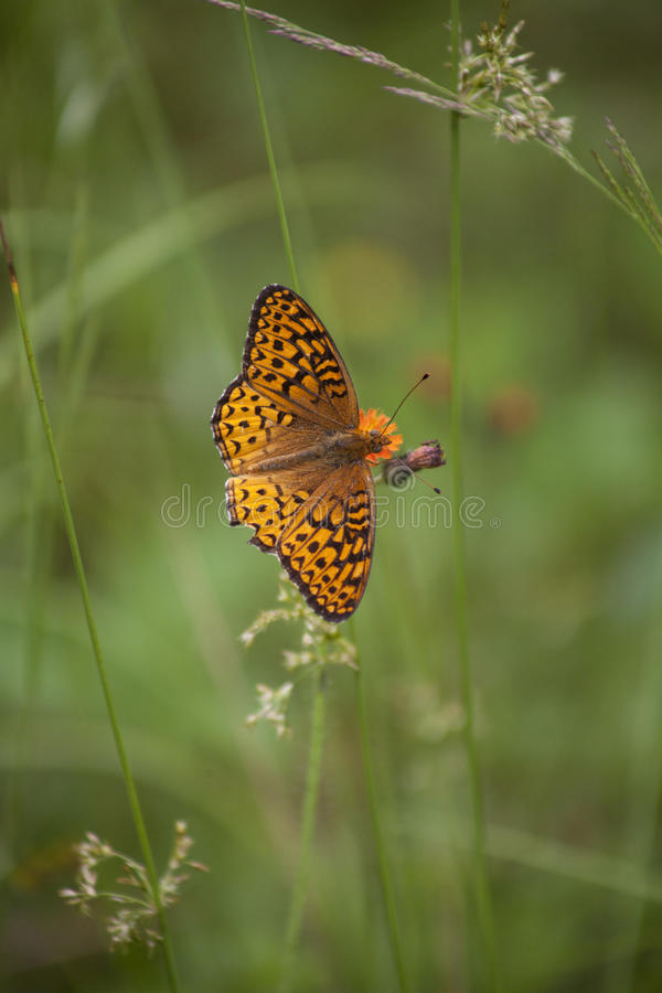 Grote Spangled Vlinder Fritillary stock afbeelding
