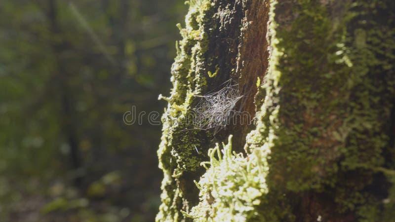 Grote spiderweb Spinnewebclose-up Het grote spinnewebclose-up met de tak daarin, glanzend onder het zonlicht royalty-vrije stock fotografie