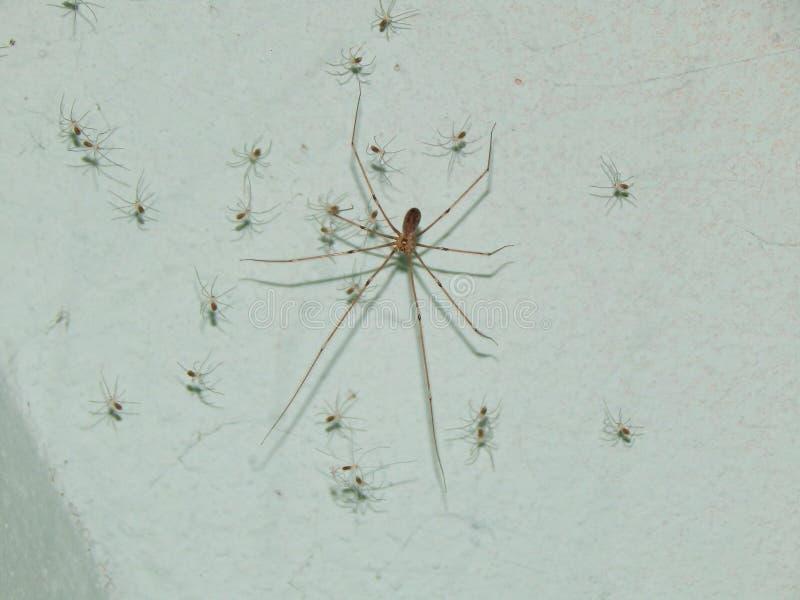 Grote spin met zijn kleine spinnen stock foto's