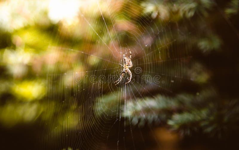 Grote spinzitting op Web bij de herfstbos royalty-vrije stock foto's