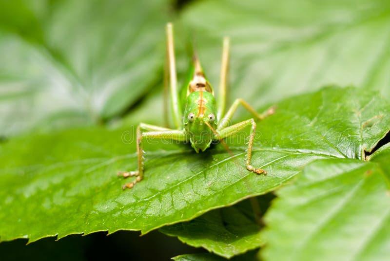 Grote sprinkhaan over groen blad dat in macro kijkt stock foto's