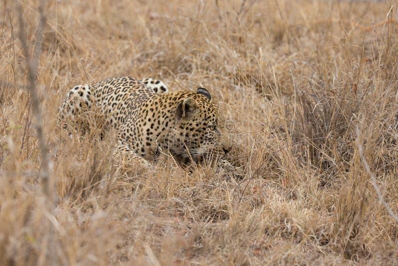 Grote sterke vermoeide mannelijke luipaard die bepalen om op gras te rusten stock fotografie