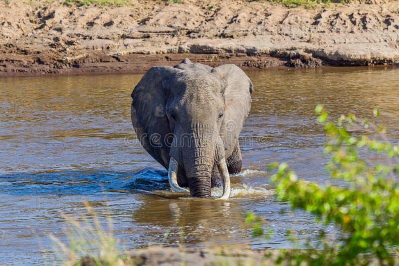 Grote Stieren Afrikaanse Olifant die over Mara River waden royalty-vrije stock fotografie