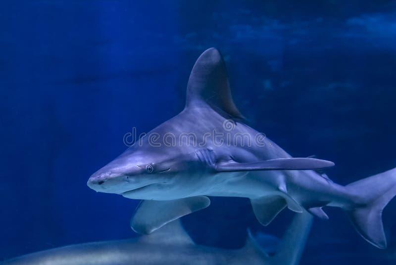 Grote stierenhaai in het duidelijke blauwe water van Vreedzame oceaan royalty-vrije stock fotografie
