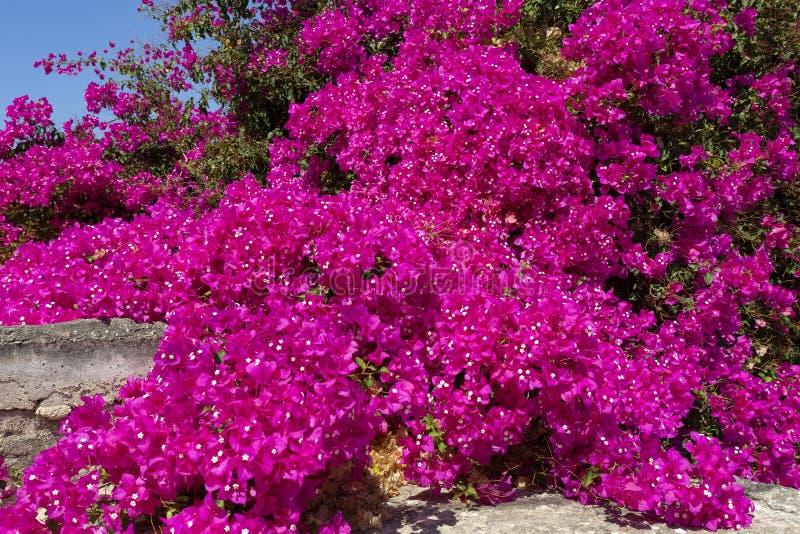 Grote struik van bloeiende Bougainvillea stock foto's