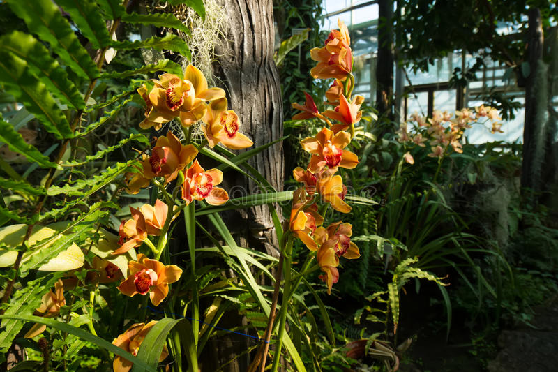Grote struik van orchideeën in serre stock afbeelding