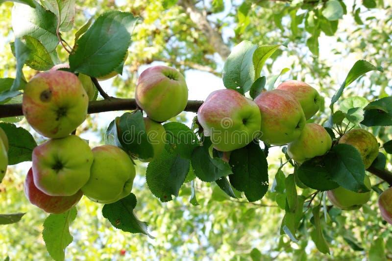 Grote tak van appelboom met vele groene appelen royalty-vrije stock foto's