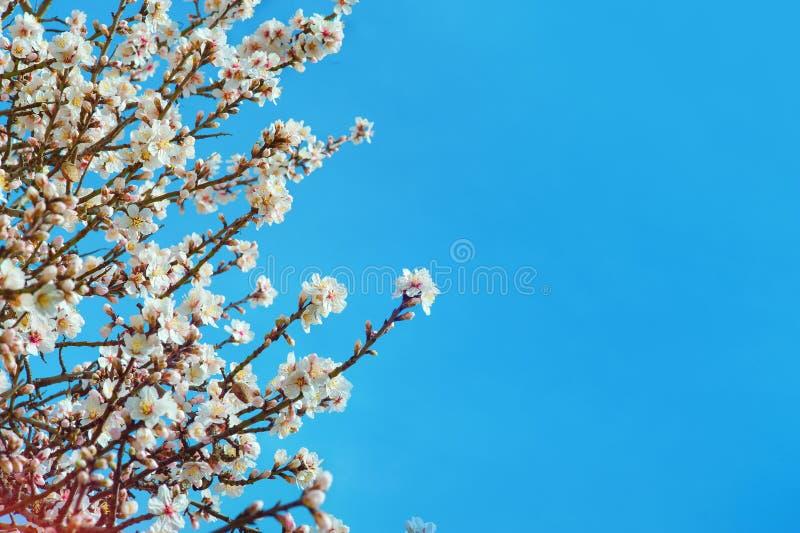 Grote textuur van amandelen roze bloemen op blauwe hemelachtergrond, met ondiepe diepte van gebied en selectieve nadruk op bloeme royalty-vrije stock fotografie
