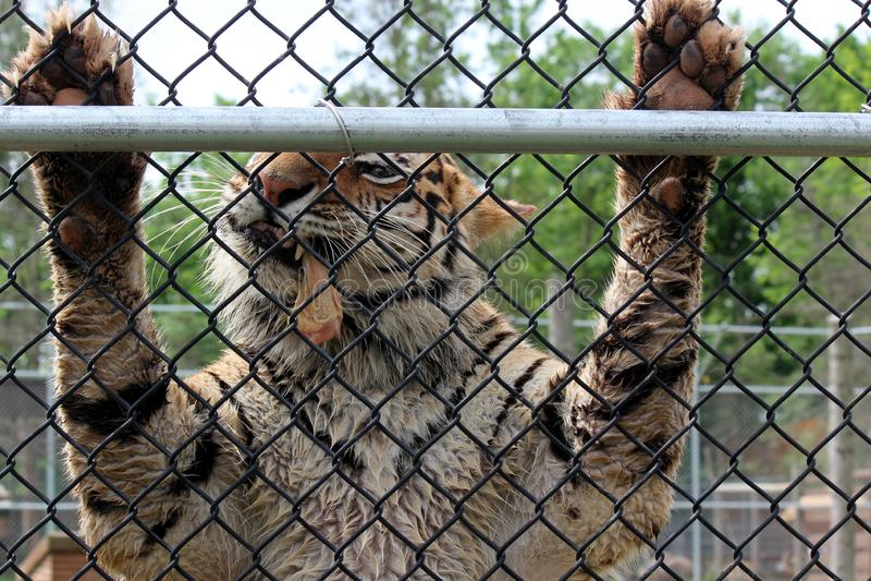 Grote tijgerholding op metaalbijlage tijdens het voeden tijd bij de dierentuin royalty-vrije stock foto's