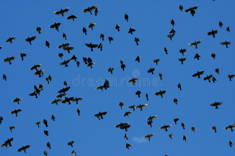 Grote troep van het starling van vogels stock foto