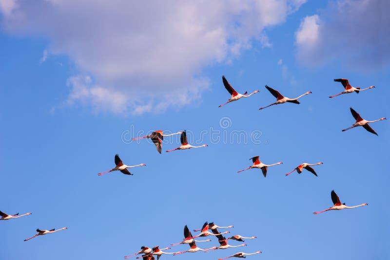 Grote troep van roze flamingo's in vrije vlucht royalty-vrije stock fotografie