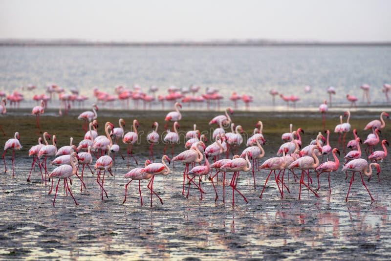 Grote troep van roze flamingo's in Walvis-Baai, Namibië stock afbeeldingen