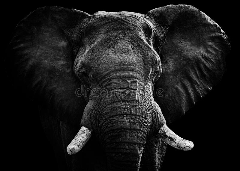 Grote Tusker stock foto