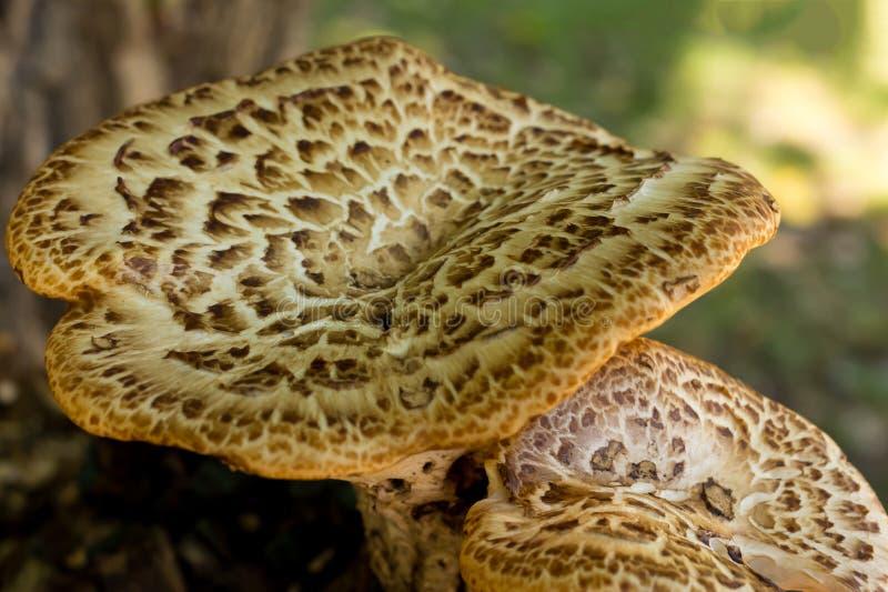 Grote van het de herfstontwerp van het paddestoelenpaar van de de basisflora van de het zonlichtbasis de close-updecoratie stock fotografie
