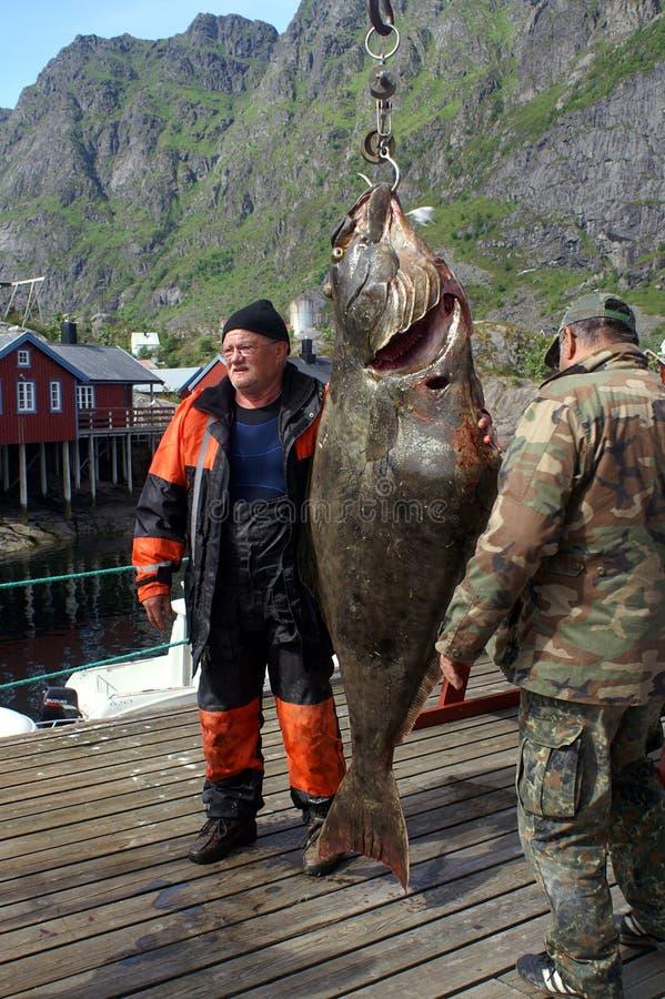 Grote vangst op Eilanden Lofoten royalty-vrije stock foto's