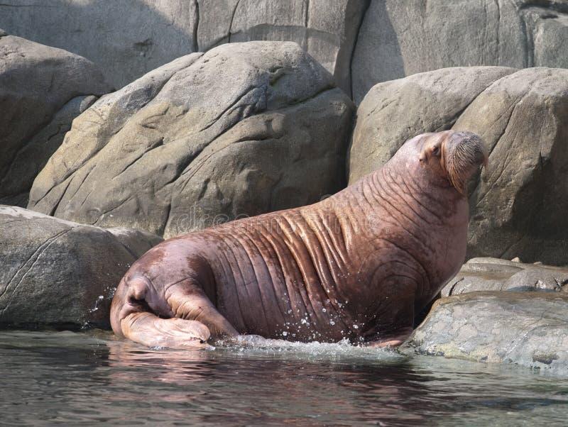 Grote vette walrus stock afbeelding