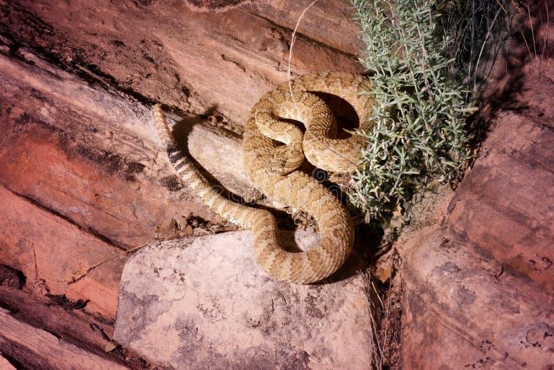 Grote viridislutosis van Crotalus van Bassinratelslangen is enig royalty-vrije stock foto's