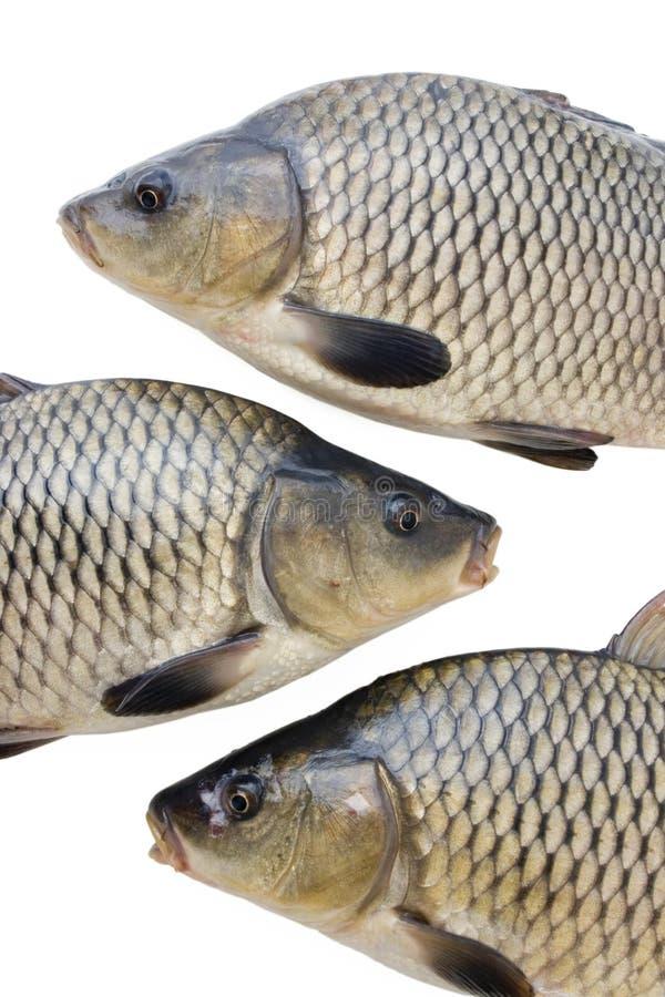 Grote vissen royalty-vrije stock afbeeldingen