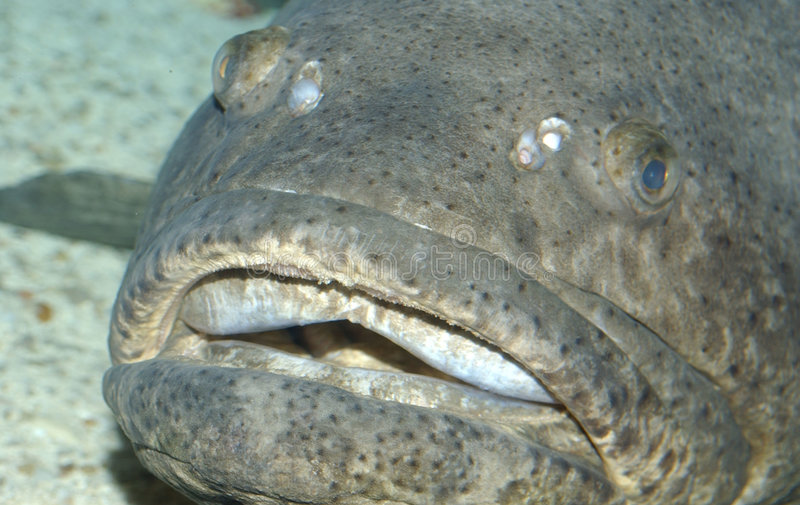 Grote Vissen royalty-vrije stock foto