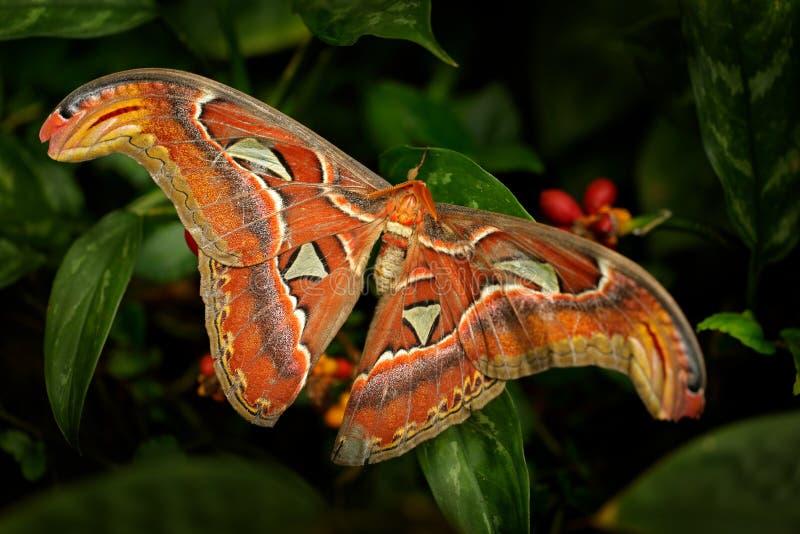 Grote vlinder in de donkere bos Mooie grote vlinder, Reuzeatlas mot-Aka, Attacus-atlas in habitat, India r stock afbeelding