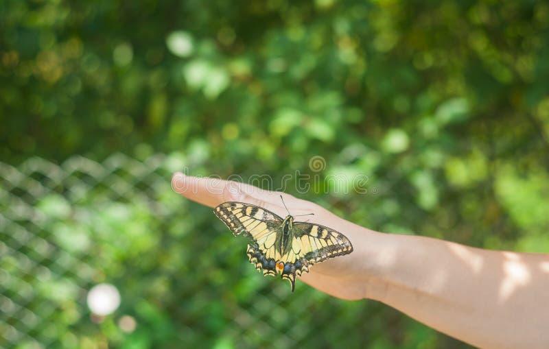 Grote vlinder op hand stock afbeeldingen