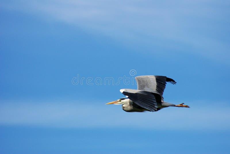 Grote vogel die in blauwe hemel vliegt royalty-vrije stock foto