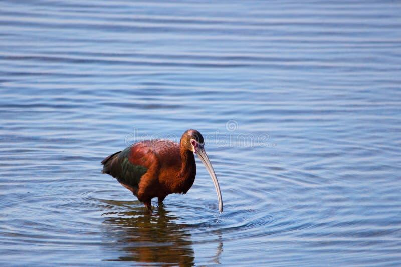Grote volwassen Glanzende Ibisvogel met lange gebogen rekening en kastanje en metaal groene veren stock fotografie