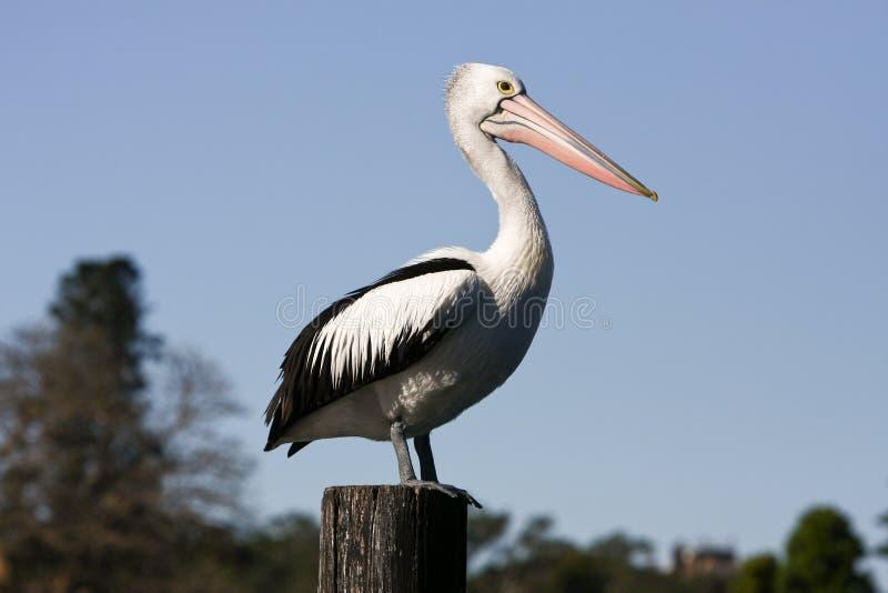 Grote volwassen pelikaan die zich op houtpost bevindt stock afbeelding