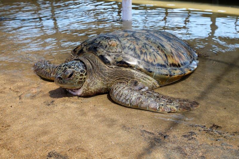 Grote volwassen zeeschildpad stock foto's