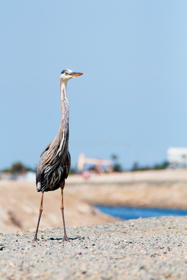 Grote wadende die vogel dichtbij open wateren en moerasland wordt gevonden Grote Blauwe Reiger stock foto's