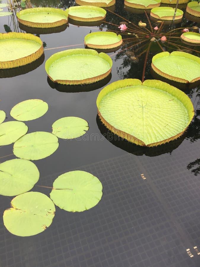 Grote waterlelies in de vijver stock foto