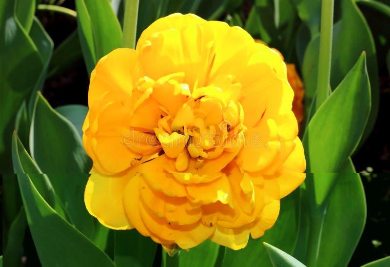 Grote weelderige gele badstof stock fotografie