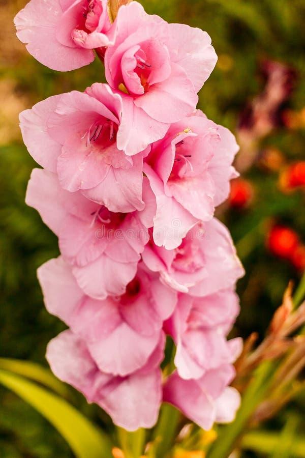 Grote weelderige tak van gladiolen zacht roze royalty-vrije stock afbeeldingen