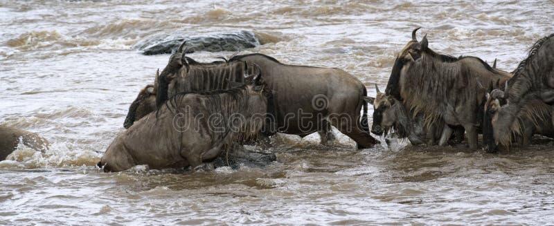 Grote Wildebeest-Migratie royalty-vrije stock foto's