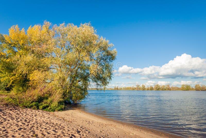 Grote wilg bij de bank van een brede Nederlandse rivier in herfst stock foto