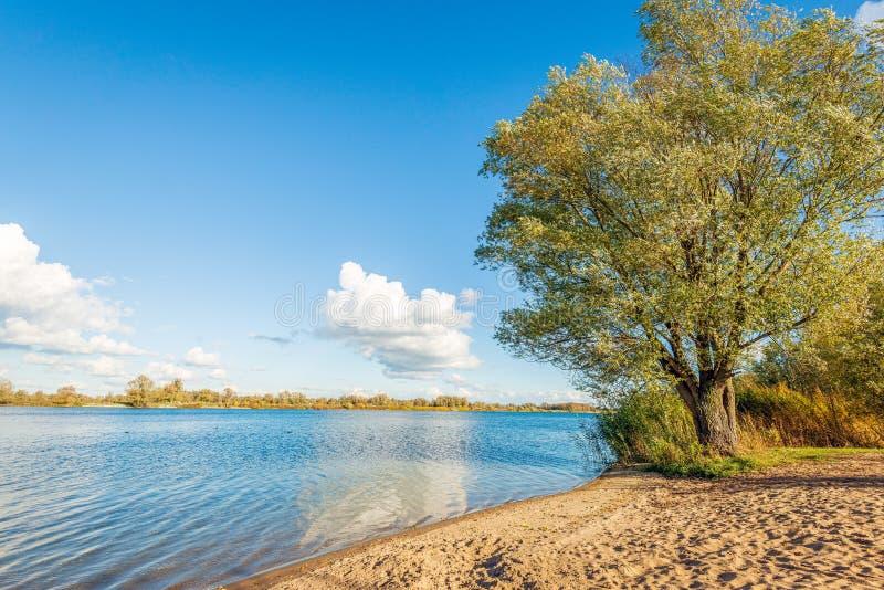 Grote wilg bij de bank van een brede Nederlandse rivier in herfstzonlicht royalty-vrije stock foto