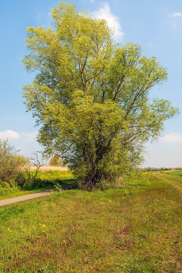 Grote wilgenstruik die enkel in de lente ontluiken stock fotografie