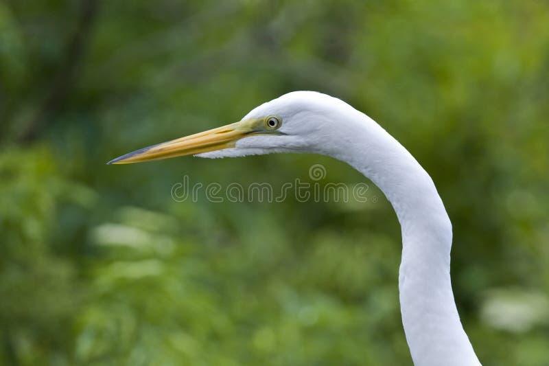 Grote Witte Aigrette royalty-vrije stock fotografie