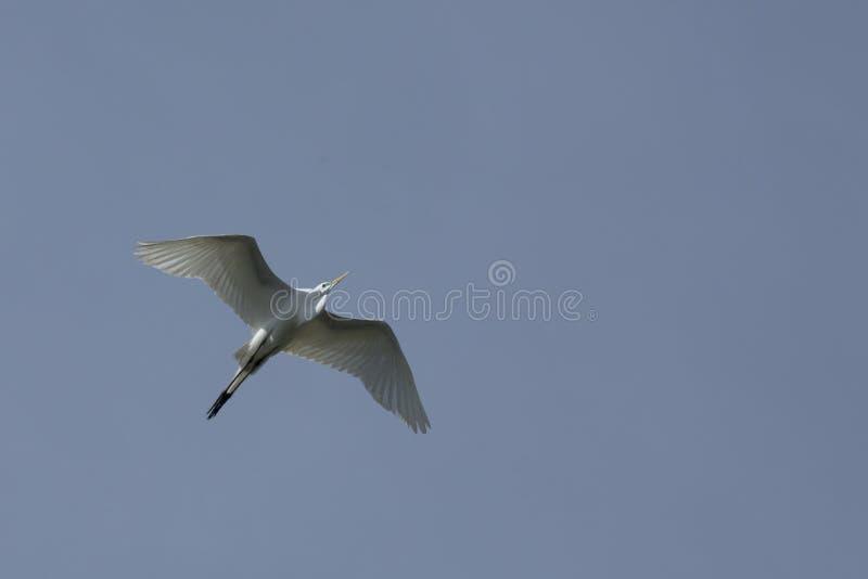 Grote witte aigrette die met vleugels uitgespreid in Florida vliegen stock foto's