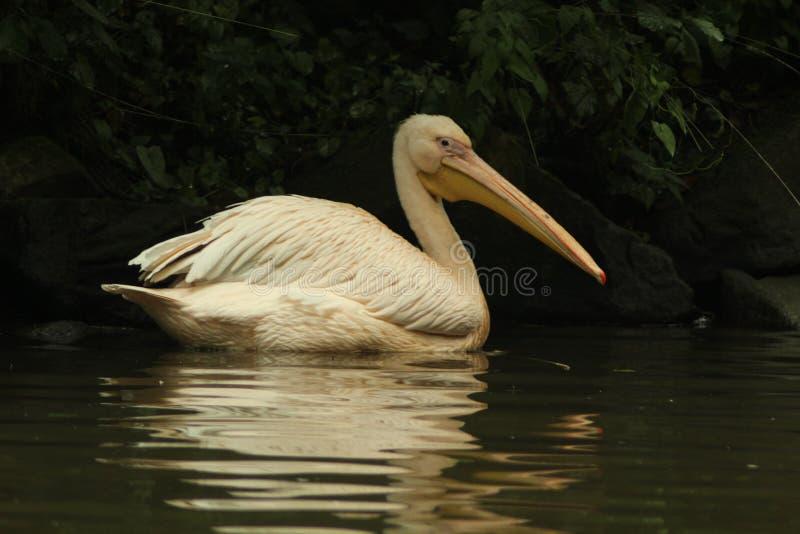 Grote witte die onocrotalusalso van pelikaanpelecanus als de oostelijke witte pelikaan of rooskleurige pelikaan wordt bekend royalty-vrije stock foto