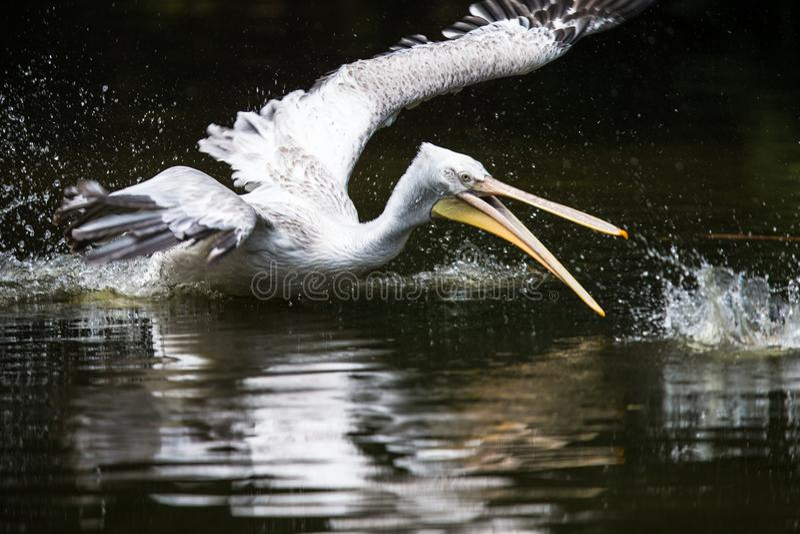 Grote witte die pelikaan ook als de oostelijke witte pelikaan wordt bekend stock afbeelding
