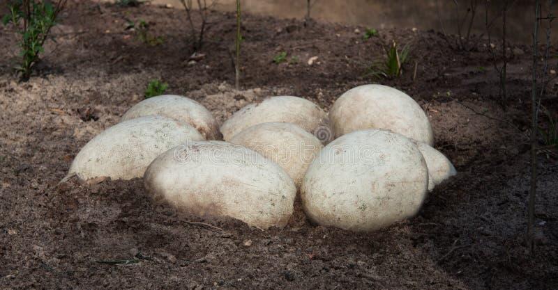 Grote witte eieren royalty-vrije stock afbeeldingen