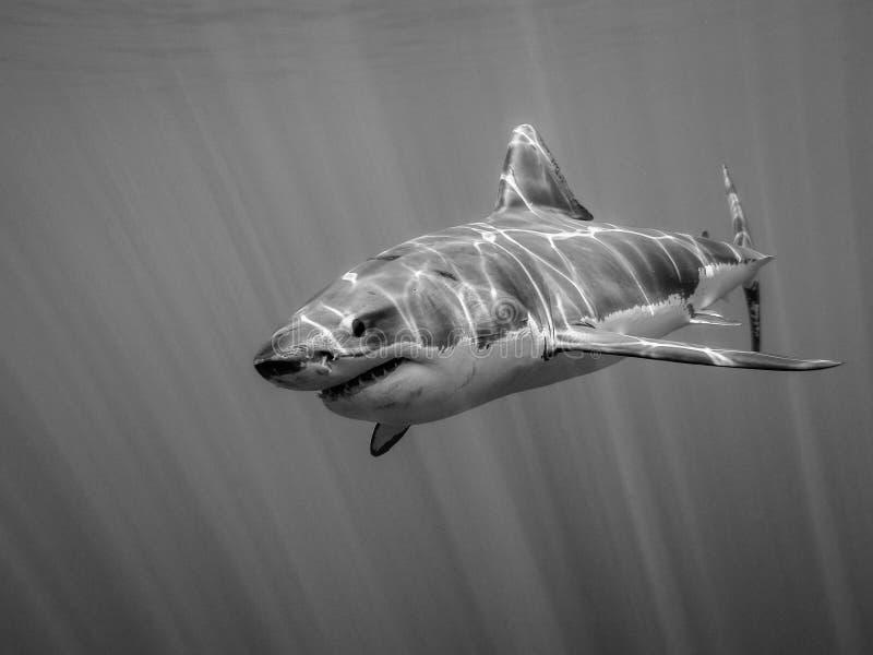 Grote witte haai die in de Vreedzame Oceaan onder zonstralen zwemmen royalty-vrije stock foto's