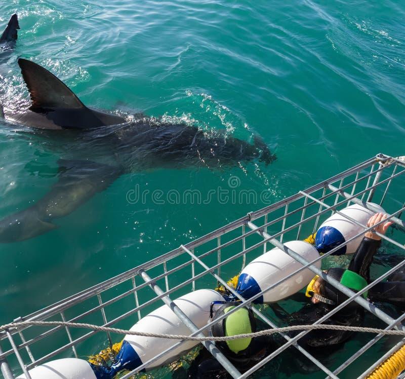 Grote witte haai met toeristen in het duiken kooi stock fotografie