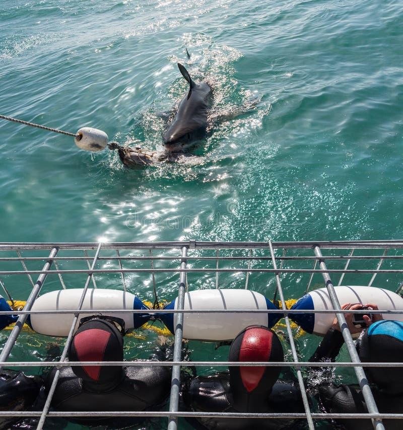 Grote witte haai met toeristen in het duiken kooi royalty-vrije stock afbeeldingen