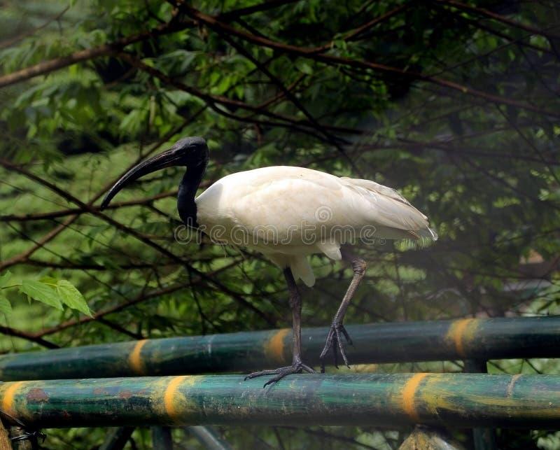 Grote witte ibis met zwarte kop royalty-vrije stock foto's
