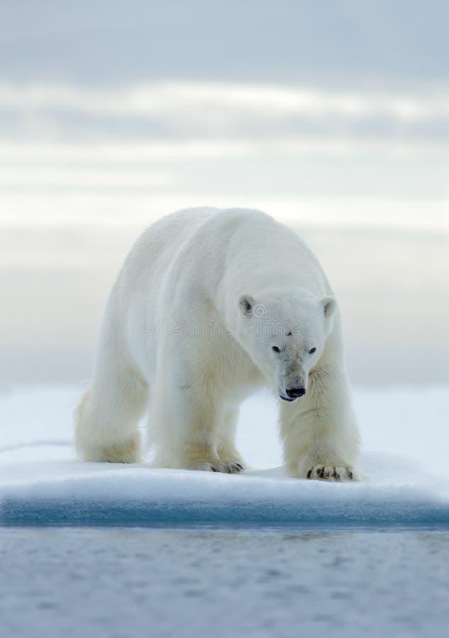 Grote witte ijsbeer, op afwijkingsijs met sneeuw, Svalbard, Noorwegen royalty-vrije stock foto