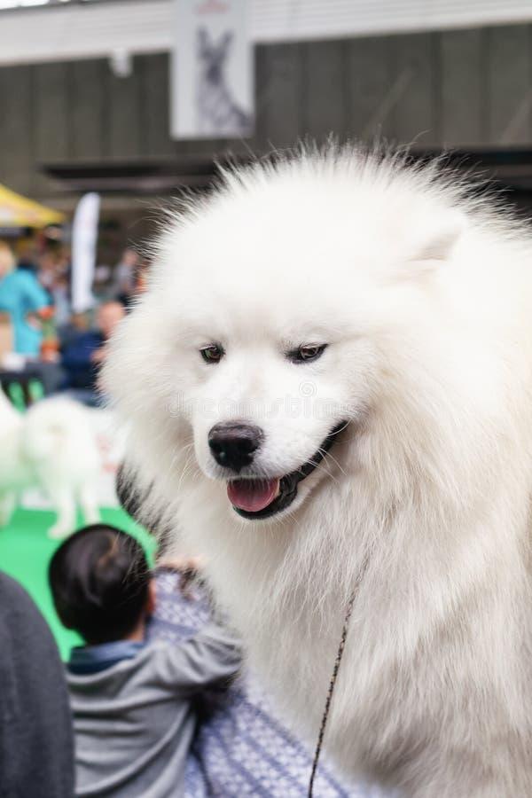 Grote witte Keeshond op de wereldhond toont in Amsterdam stock afbeelding