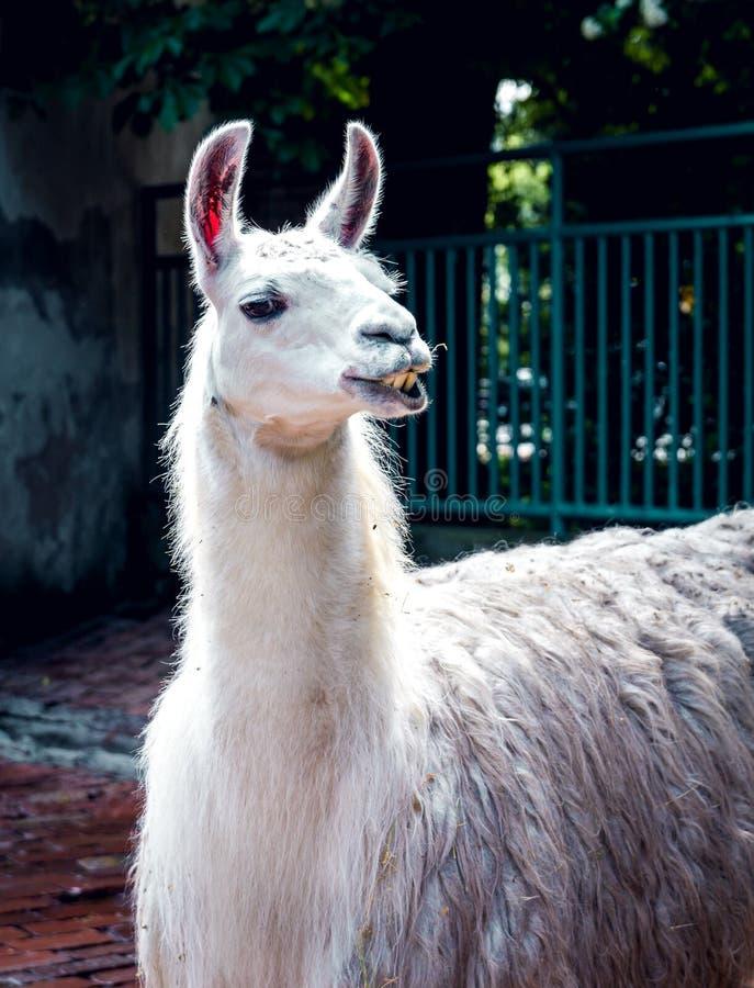 Grote witte lama in de dierentuin stock foto
