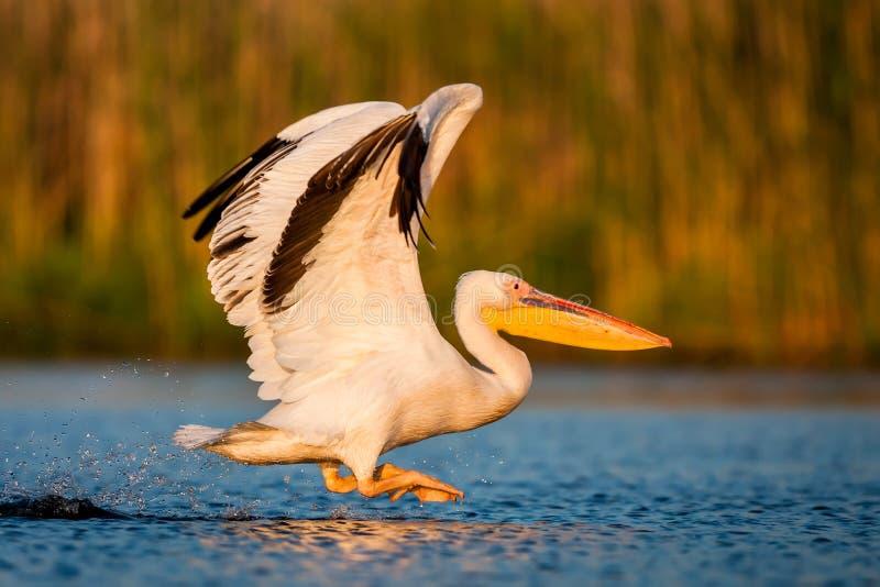 Grote witte onocrotalus van pelikaanpelecanus ook stock foto's